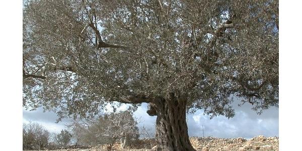 """<span style=""""color:#EEAA22"""">&lt;감람나무 : Olive tree &gt;</span><br> <감람나무 : Olive tree > 성경 시대 팔레스타인 지방에서 흔히 볼 수 있었던 나무로 아주 유용했다(출 23:11; 27:20; 레 24:2; 신 6:11). 이 나무는 성장이 더딘 편이었으며, 열매..."""